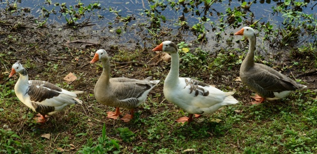 geese-769018_1920